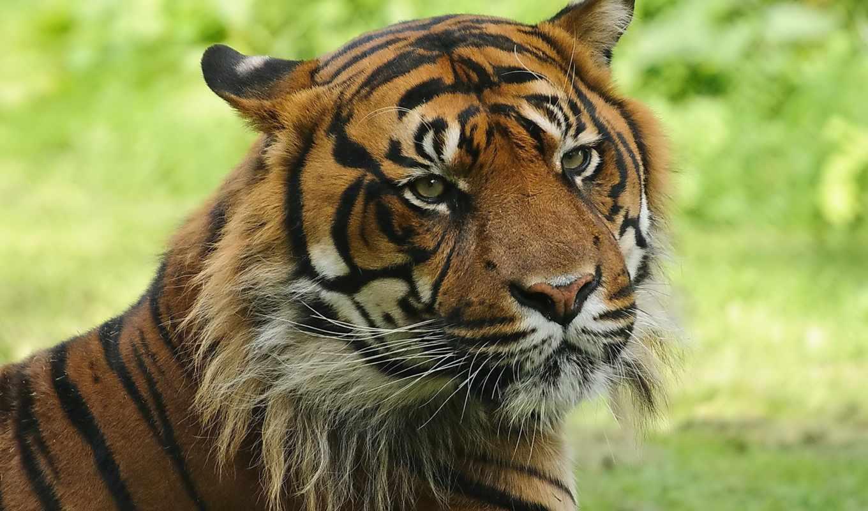 тигр, морда, полосатая, кошка, картинка, картинку, мыши, кнопкой, кликните, поделиться, кномку, салатовую, картинками, понравившимися, левой, же, так,