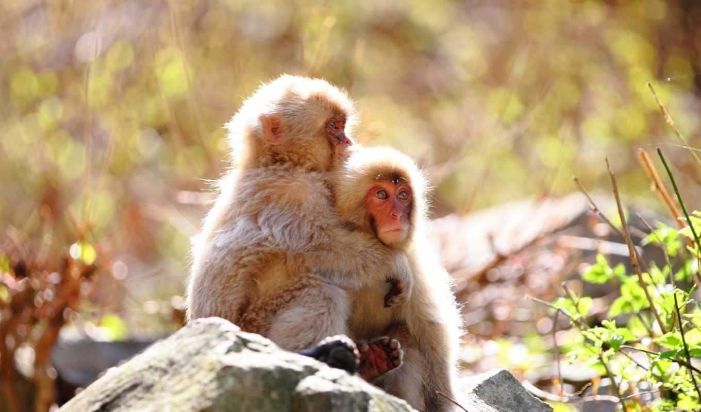 обезьяны, monkeys,