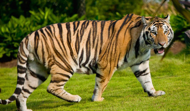 university, state, тигр, тигров, тигрята, тигрица,