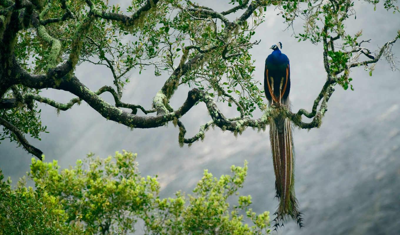 peacock, картины, indian, краска, сосны, но, дома, товар, дешевые, перо, national,