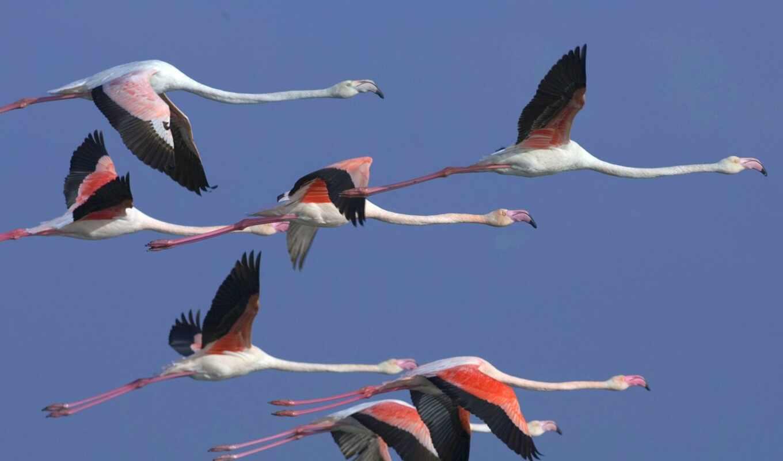 журавль, фламинго, птица, стая, letet, розовый, животное, фотография, смартфон, ozero