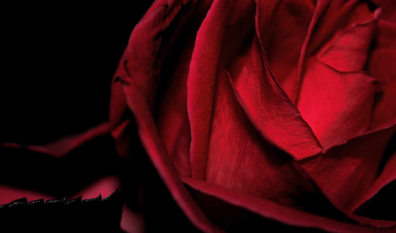 красная, роза, макро,