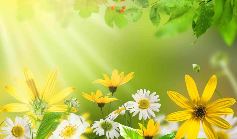 ромашки, цветы, высоком,