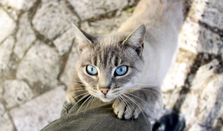 кот, глаза, животных, animal, сиамская, животные, голубые, лапки,