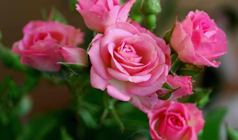цветы, розы, розовые,