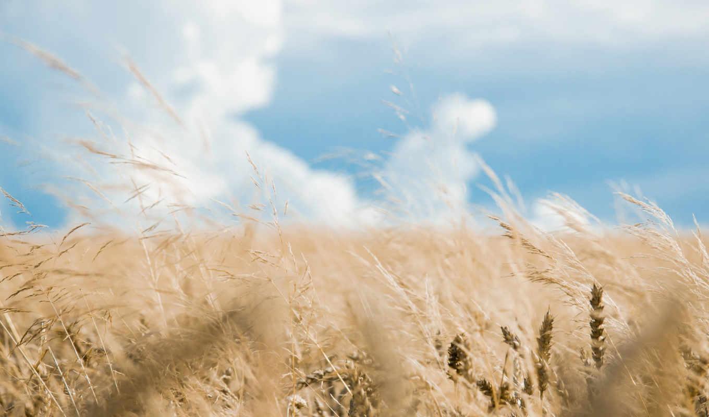 поле, небо, природа, колосья,