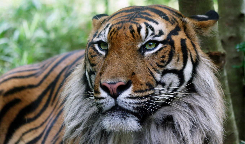телефон, картинку, тигр, тигры, яndex, старый, zhivotnye, тигров, коллекциях,
