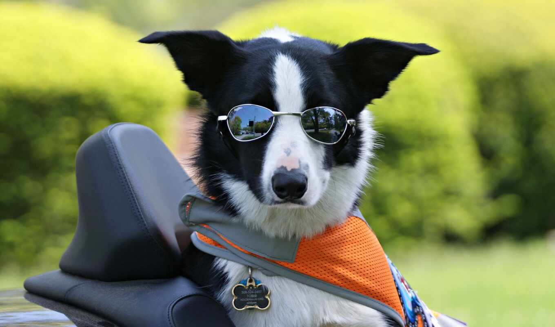 собака, колли, point, border, cool, funny, animal