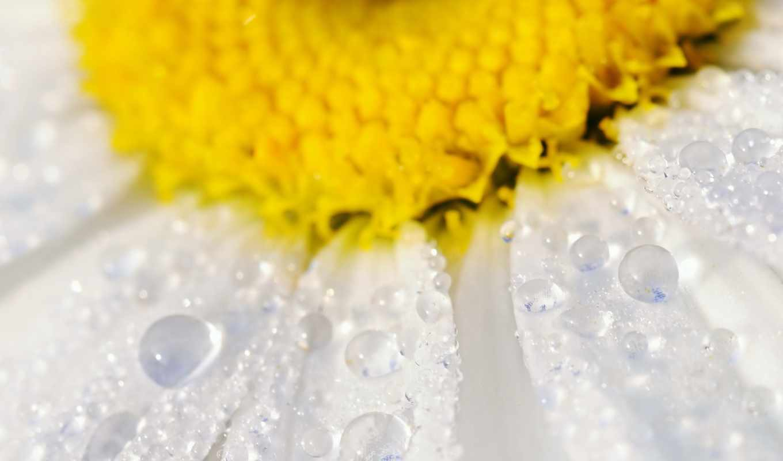 ромашка, макро, капли, цветы, water,