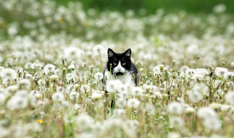 white, black, кот, dandelions, оригинал, одуванчик,