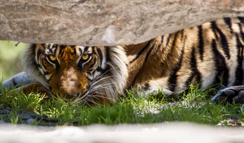 тигр, permission, оригинал
