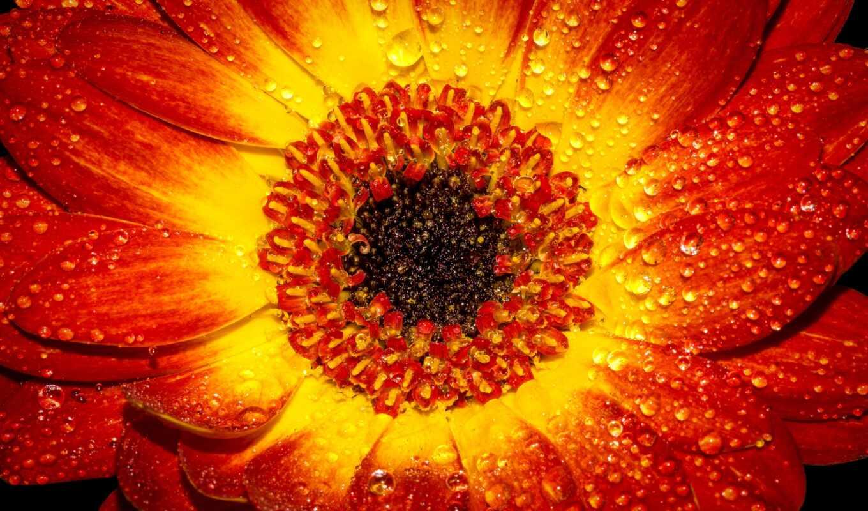 оранжевый, цветы, лепесток, ноутбук, flor, makryi, drop, wevan, фото, роса