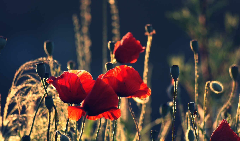 маки, цветы, бутоны, лепестки, красные,