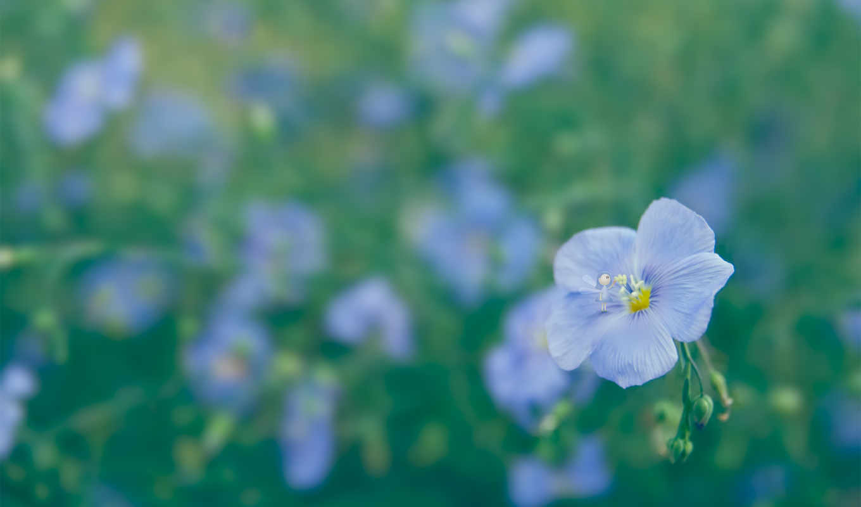 цветы, макро, лен,