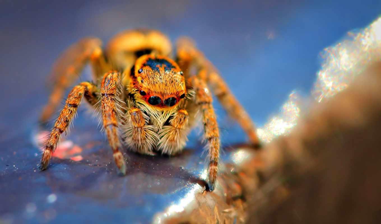 spiders, паук, коллекция, скакун, макро,