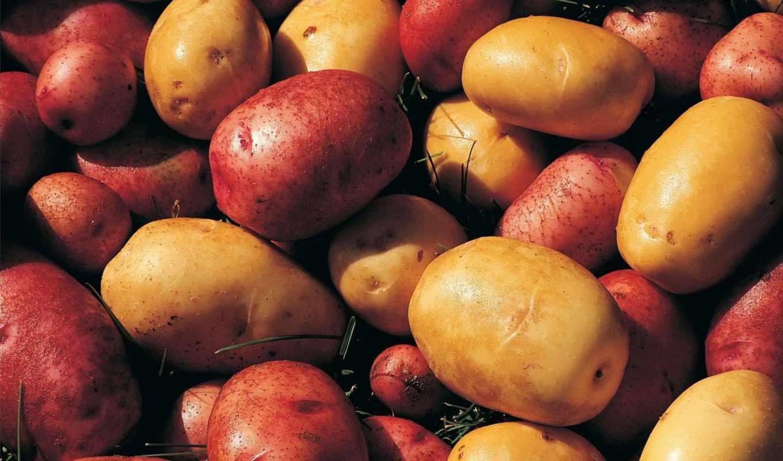 картофель, оптом, объявления, актуальные, опт, производителей, reservation, ценами, года,