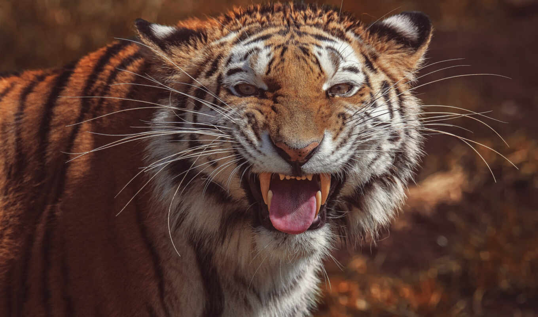 ухмылка, тигр, глаза, кот, смотреть, wild, tigris, fang, siberian, panthera