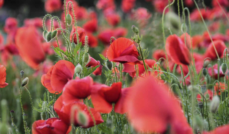 poppy, листья, nature, мак, que, лепестки, без, регистрации, цветы, цветки, red, flowers, field,