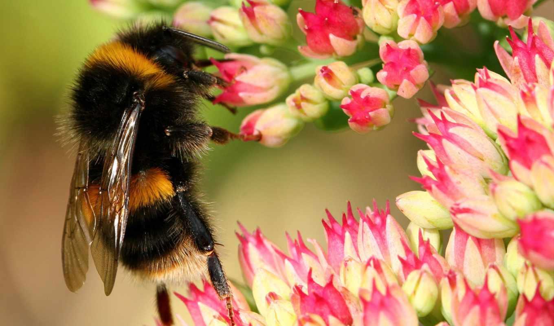 шмель, cvety, девушек, подборка, красивых, насекомые, шмеля, шмели,