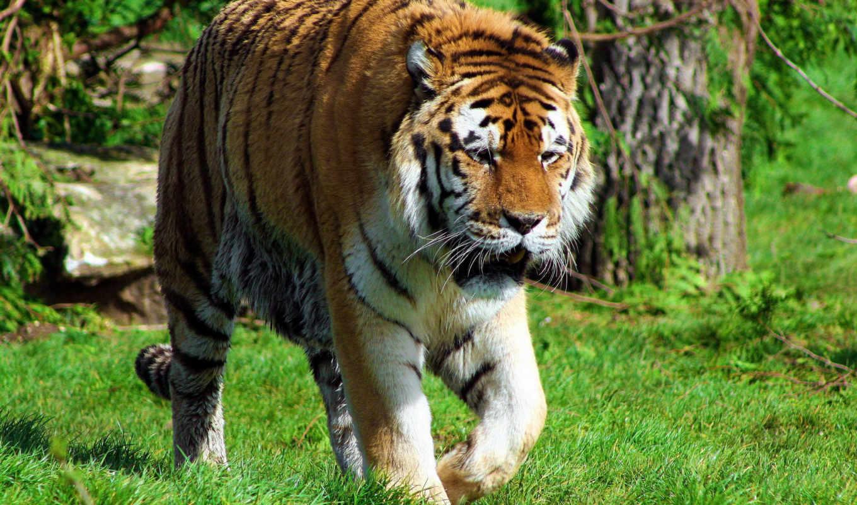 animals, tigers, тигр, free, more, artwork, white,