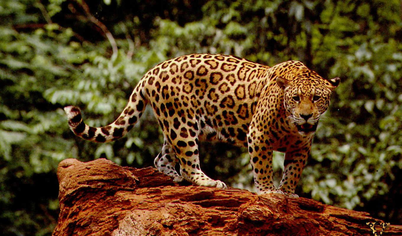леопард, снег, jaguar, кот, ирбис, lat, леопарда,
