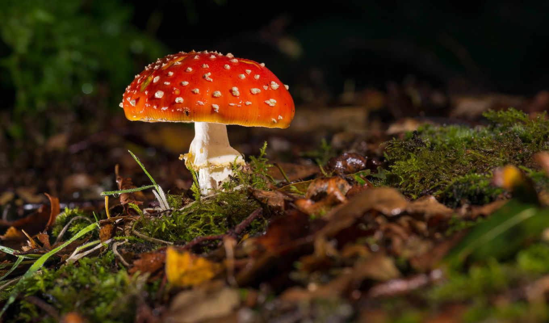 мухомор, mushroom, трава, грибы, лес, макро, осень, листва,