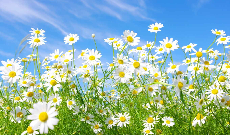 поле, ромашковое, цветы, ромашки,