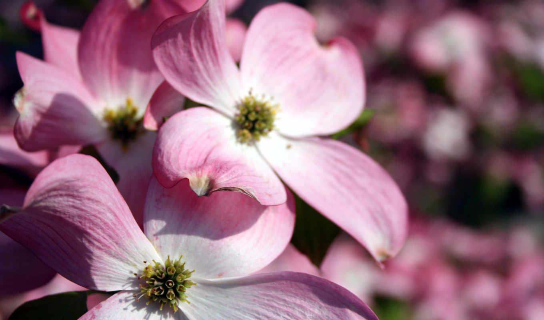 розовый, flowers, цветы, free, можно, desktop,