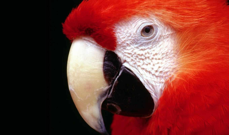 попугай, red, ara, свой, wpapers, совершенно,