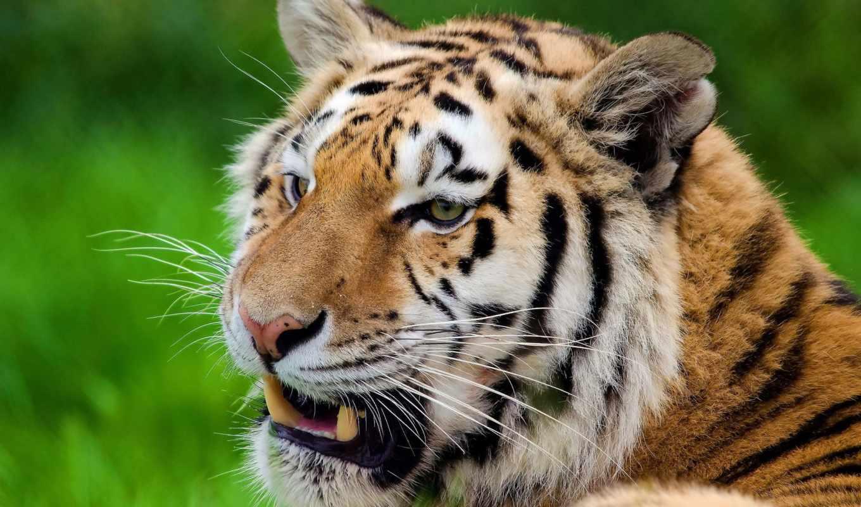 тигр, усы, морда, отдых, полоски, смотрит, картинка, картинку,