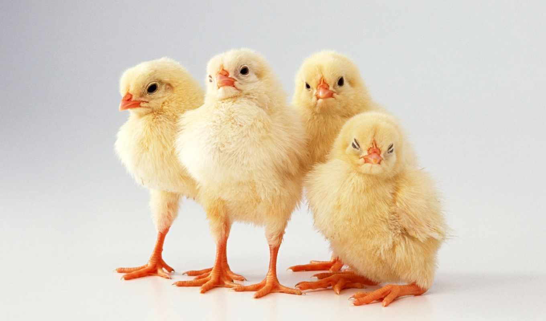 цыплята, утята, sale, цыплят, птицы, гусята, суточных, молодой,