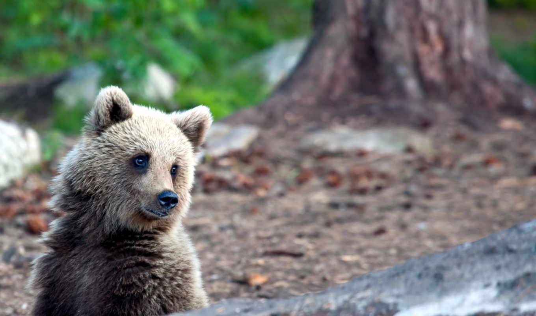 summer, природа, красивые, медведь, животных, природы,