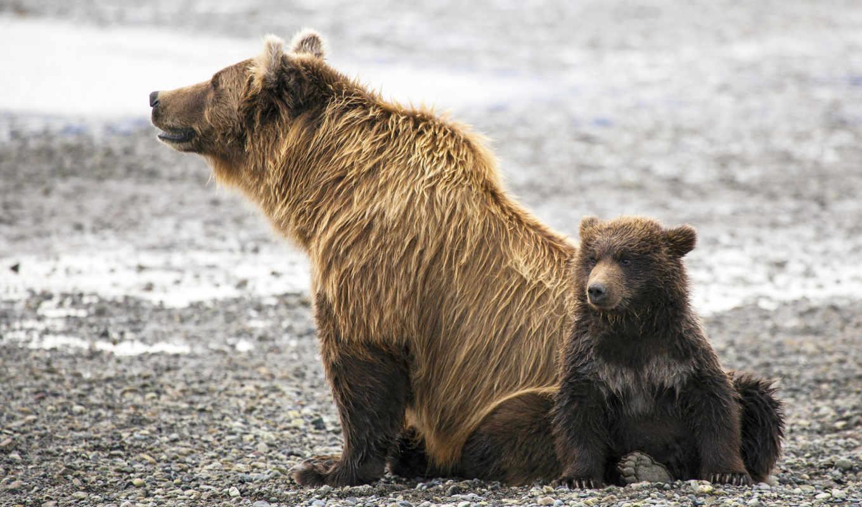 медвежонок, zhivotnye, медведи, животных,