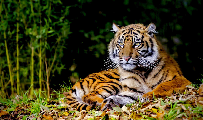 чёрно, тигр, белые, эскизы, тигры, тату, zhivotnye, white, тигра, интерьере,