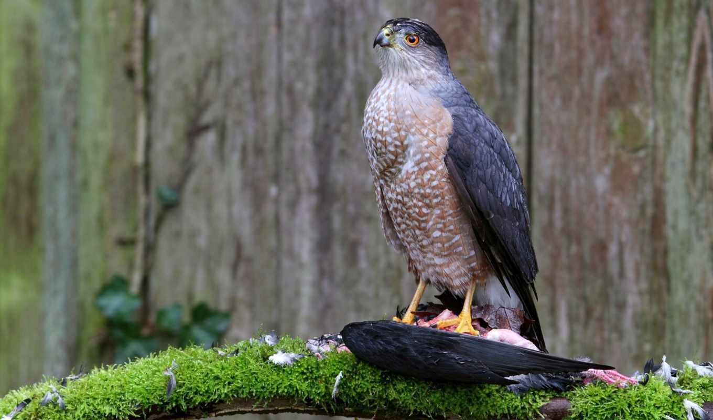 hawk, prey, birds, птица, хищник,