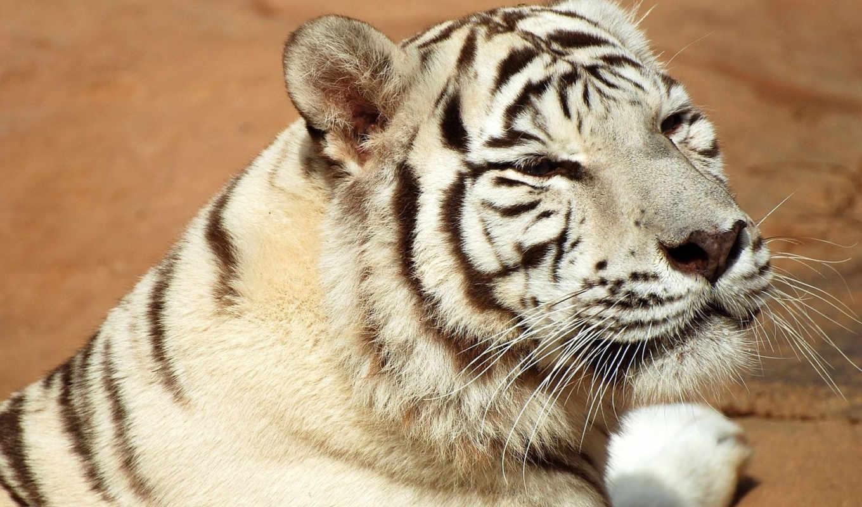 автомобили, машины, тюнинг, авто, volvo, машина, тигр, хищник, белый, кошка, животные, категория, faunamania, фотографии, совершенно,