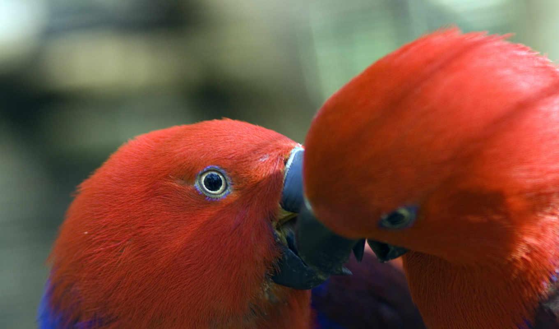 ,, красный, клюв, птица, попугай, фауна, Ара, неразлучник, длиннохвостый попугай,,