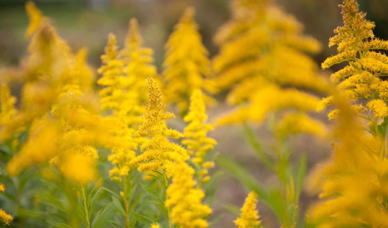 yellow, flowers, summer,