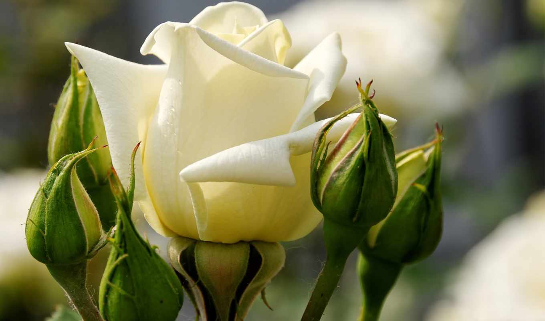 природа, цветы, ipad, красивые, розы, цветут, хорошем,