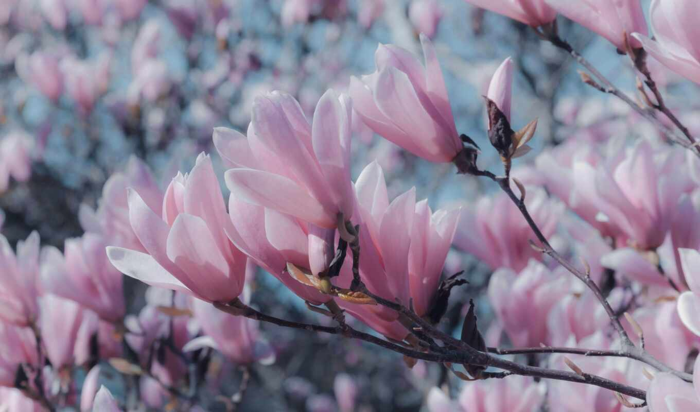 cvety, розовый, free, magnolia, цветы, branch