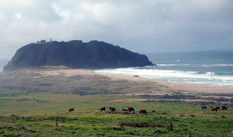 коровы, море, пастбище, природа, картинка, bigsurlighthouse,