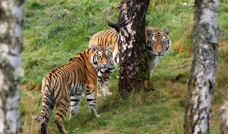 тигры, красивых, забрать, дерева, красавица, наборе, два, тигра,