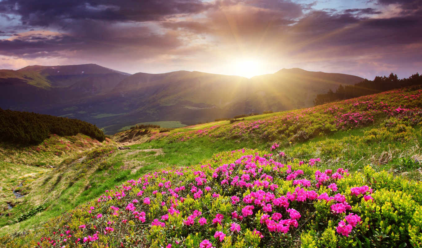 sunset, flower, field, desktop, download, flowers,