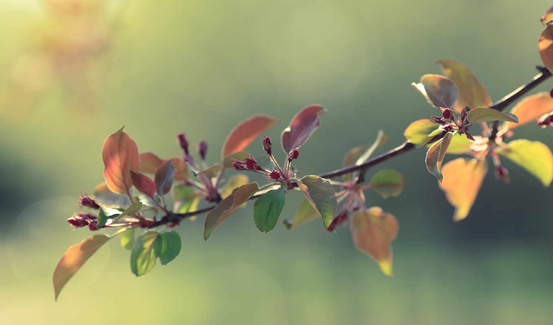 branch, яблони, apple, весна, цветущая, распускающаяся,