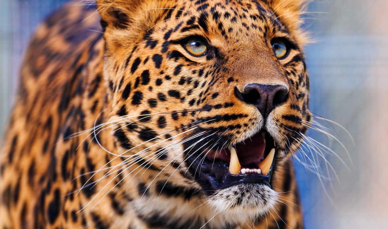 леопард, морда, агрессия, оскал,