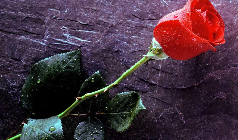 rosa, vermelha, parede, papel, botão, para, flores, amor,
