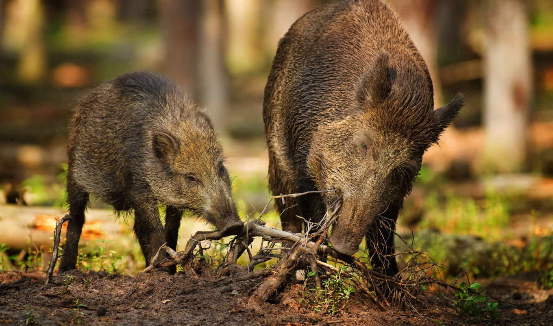 кабаны, корни, два, лес, дикие, tiere, картинку, кнопкой, правой, waldputzete, мыши, ней, животные, betznaturfoto, выпуски, gb, выберите, картинка,