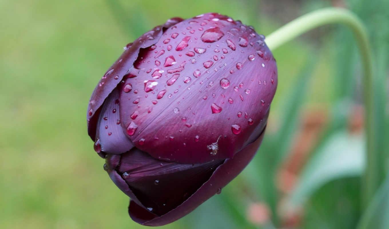 цветы, тюльпаны,