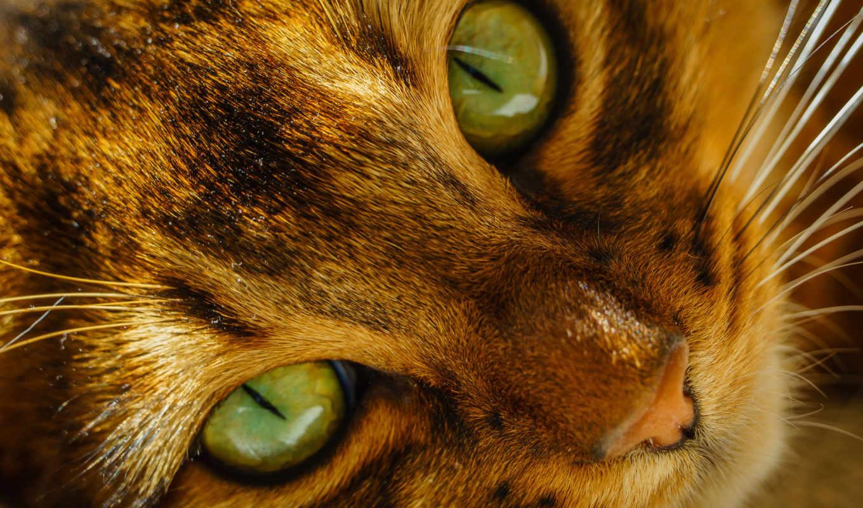 глаза, кот, морда, кошки, зеленые, взгляд, усы,