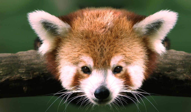 панда, красная, малая, панды, няшный, зверек, red, хрюки, еда, забавные,